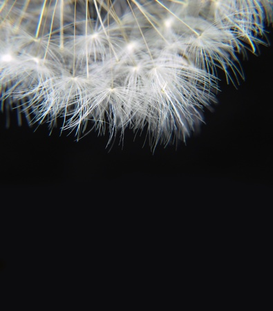 a dandelion hairs on a black background Stock Photo - 9458001