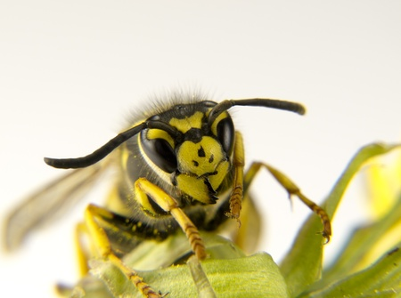 a Macro of a European wasp yellow and black markings