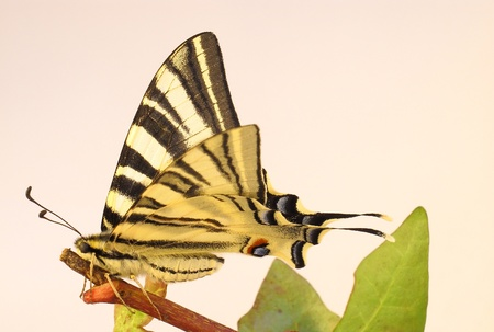 An old World Swallowtail Butterfly on a twig photo