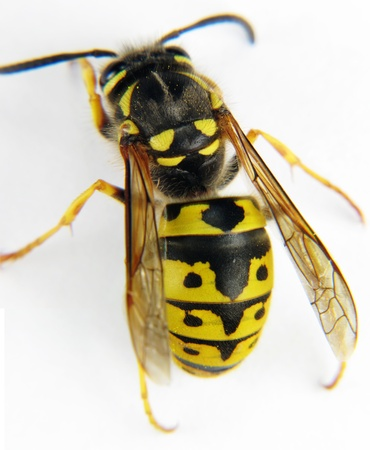 abdomen yellow jacket: European wasp macro white background