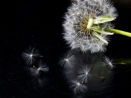 human fertility: dandelion on the floor Stock Photo