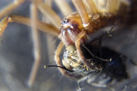 devouring: macro spider devouring a blowfly Stock Photo
