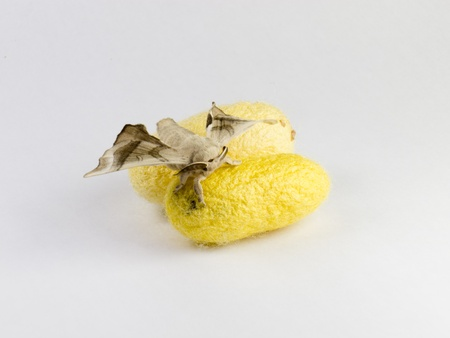 silkworm: two silkworm cocoon and a little moth