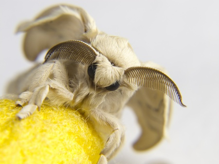 silk cocoon to a butterfly yellow silkworm