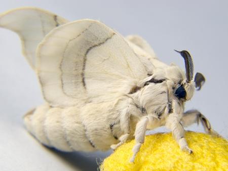 silkworm: silkworm moth resting on a cocoon