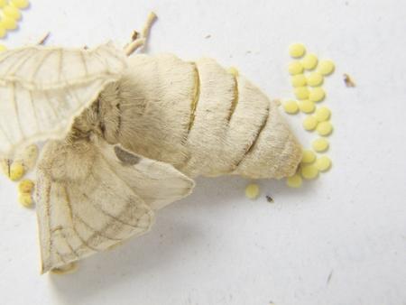 capullo: un gusano de seda poniendo los huevos Foto de archivo