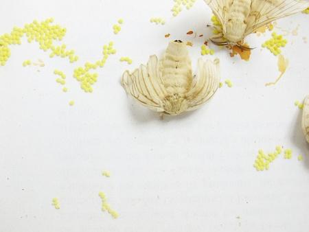 silkworm: a two silkworm moths lay eggs Stock Photo
