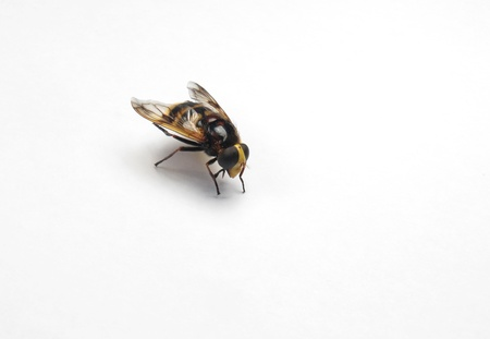 abdomen yellow jacket: a Beautiful and bright wasp on a white background