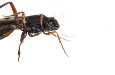 a small wasp-like ant Stock Photo - 10651405