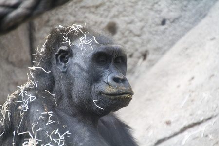 gorilla after a nap in the hay photo