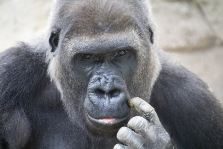 gorilla with worrisome eyes photo