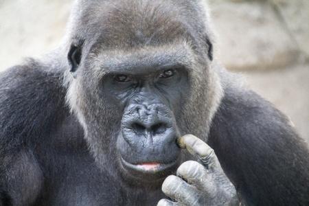gorilla with worrisome eyes Stock Photo