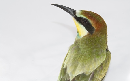 nice colorful bee-eater photo