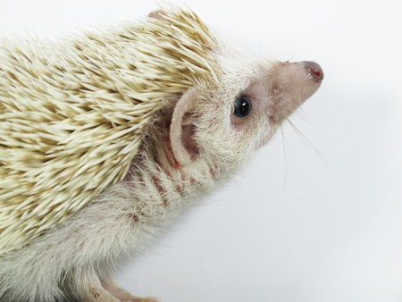 White African posing little hedgehog Stock Photo - 11065403