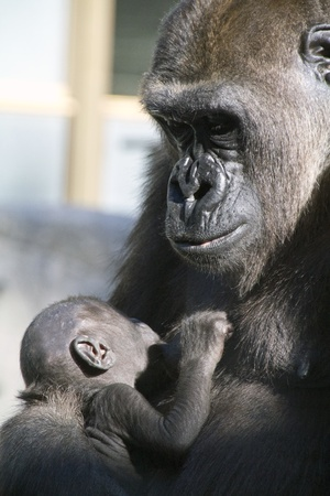 caring for your child gorilla photo