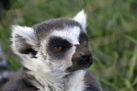 pretty curious lemur Stock Photo - 11169342
