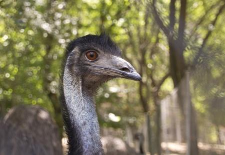 Closeup emu in open photo