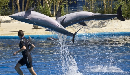 bottlenose: Bottlenose dolphins jumping out of the blue water
