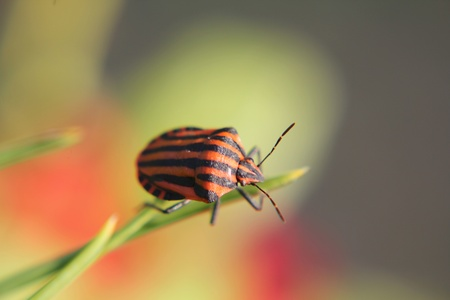 graphosoma: graphosoma lineatum, on green stem Stock Photo