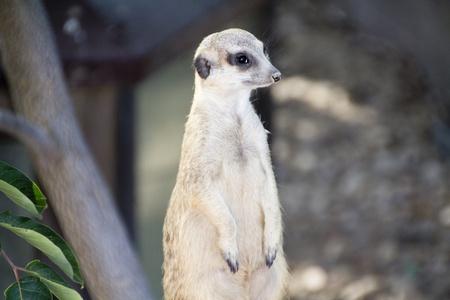 vigilant: vigilant meerkat