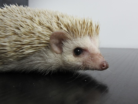 nocturnal: White African posing little hedgehog