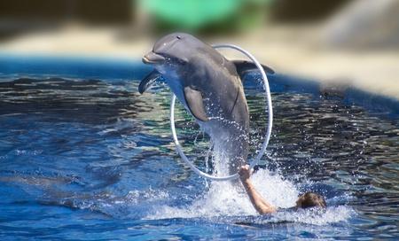 Dauphin sautant à travers un cerceau belle grande