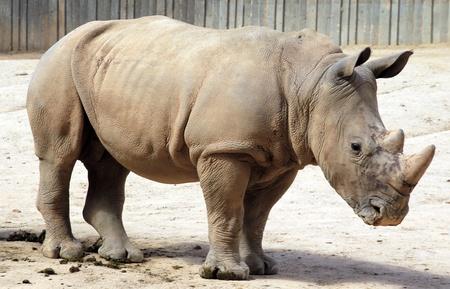 Rhinoceros impressive Stock Photo