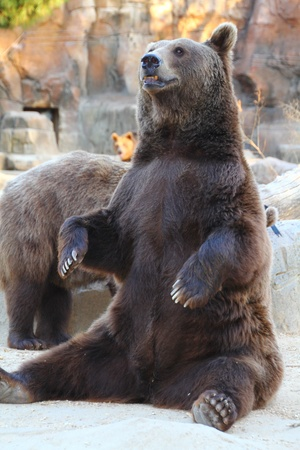angry bear: huge bear very expressive Stock Photo