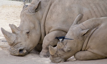 rhino with her ​​calf and a bird photo
