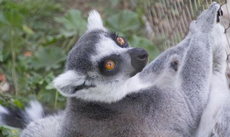 pretty curious lemur Stock Photo - 12350362