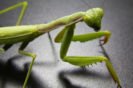 Closeup of a green mantis photo