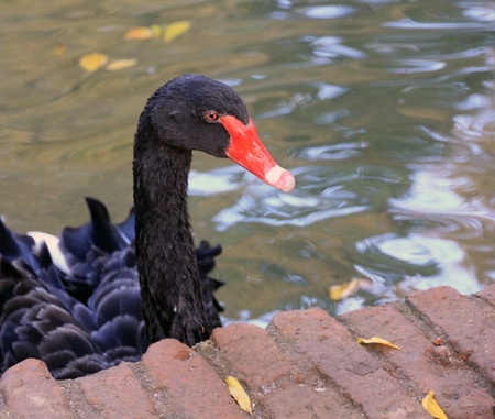 red beak: beautiful Black Swan red beak Stock Photo