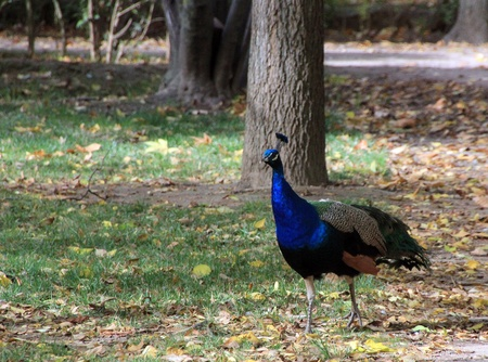 showy: Peacock of showy colors