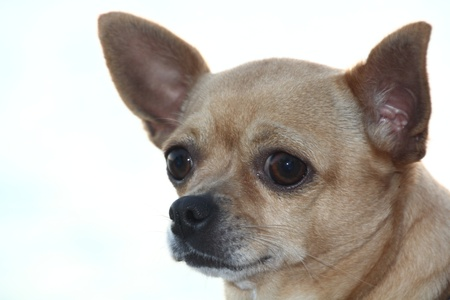 Portrait of a young chihuahua photo