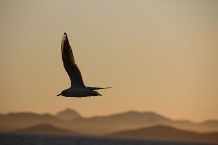 gulls flying at dusk Stock Photo - 12346711