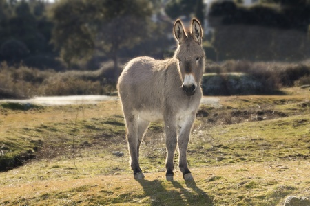 small donkey walking in a meadow photo