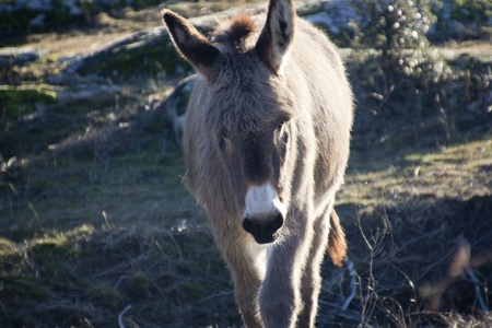 baby ass: small donkey walking in a meadow