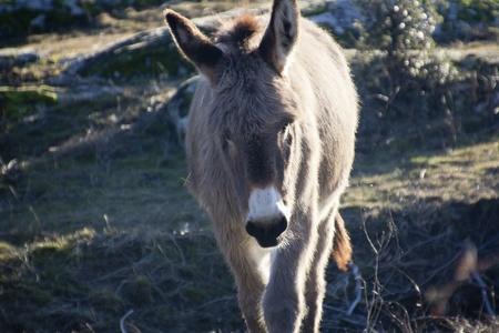 big ass: small donkey walking in a meadow