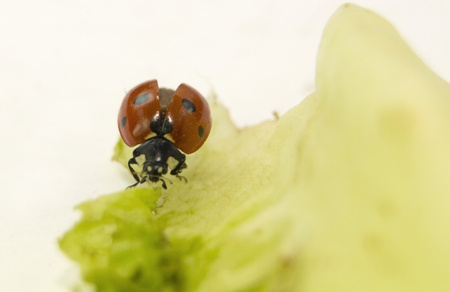Ladybug eating in a green leaf Stock Photo - 12350280