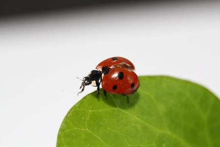 Ladybug eating in a green leaf photo
