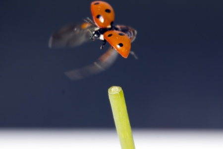 Ladybug flying on a blue background photo