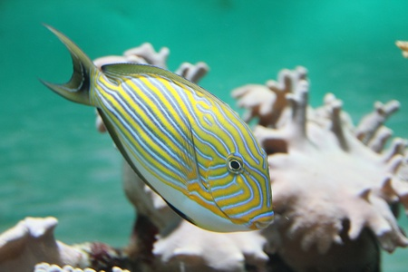yellow tang: surgeon in Bank of coral fish epulopiscium Stock Photo