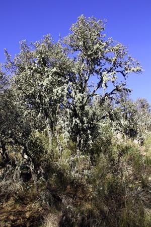 tree full of lichens photo