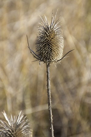thistle and white cotton during the summer photo