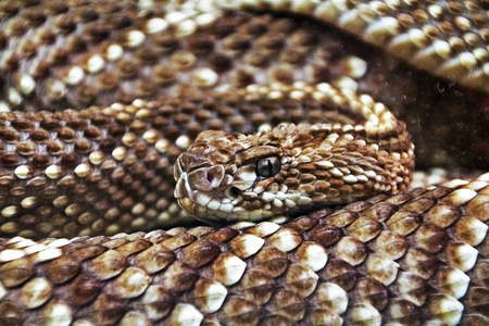 terrifying rattlesnake coiled photo
