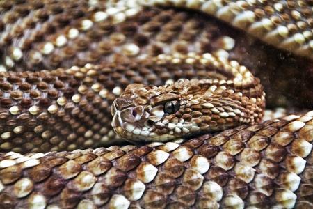 terrifying rattlesnake coiled photo