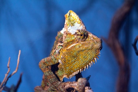 eye of a young chameleon photo