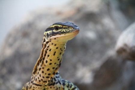 Great Green and black lizard Stock Photo - 12350325