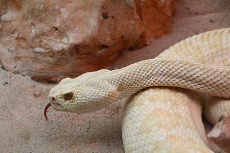 great white python photo
