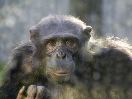 close portrait of an adult chimpanzee photo